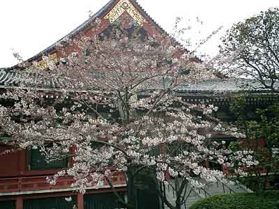 060326 浅草寺と桜