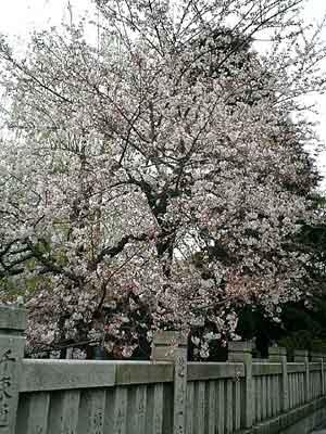 060326 浅草神社と桜