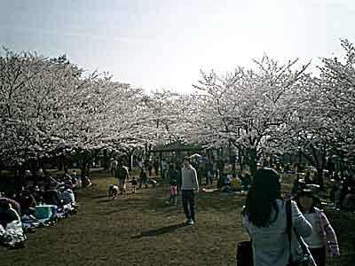 060401 尾根の桜