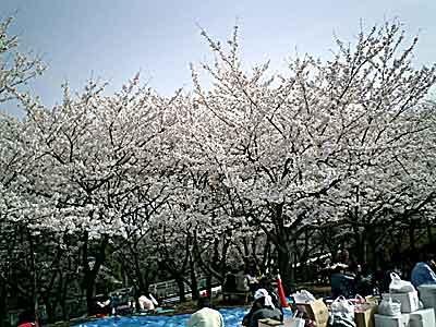 060401 桜