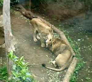 060506 ライオン2