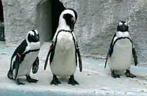 060506 ペンギン2