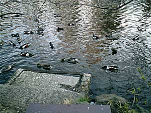 070318 井の頭公園の鴨