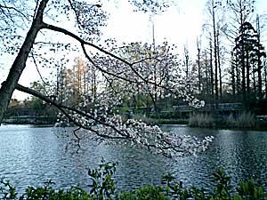 070318 井の頭公園の桜