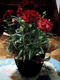 070510 母の日花