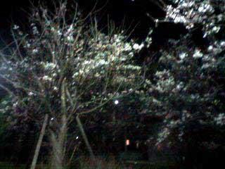 080327 夜桜