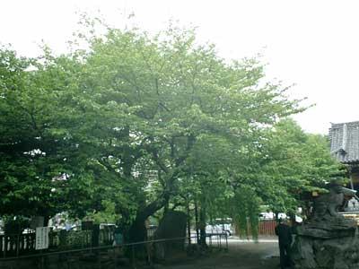 080427 浅草神社の桜